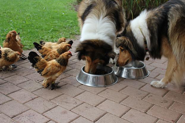 Collies,Hühner3